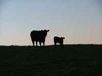 Cow and calf in the early morning
